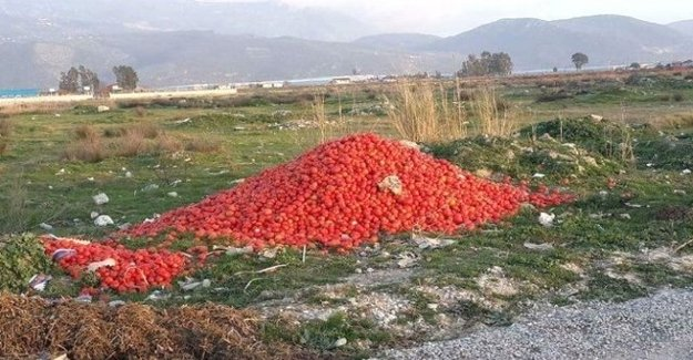 Antalya'da Domates Tarlada 70 Kuruş, Tezgahta 5 Lira
