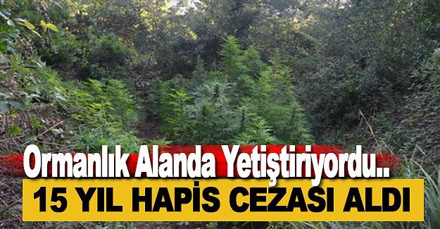 Ormanlık Alanda Kenevir Yetiştirene 15 Yıl Hapis