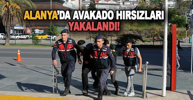 Alanya'da Avokado hırsızları yakalandı