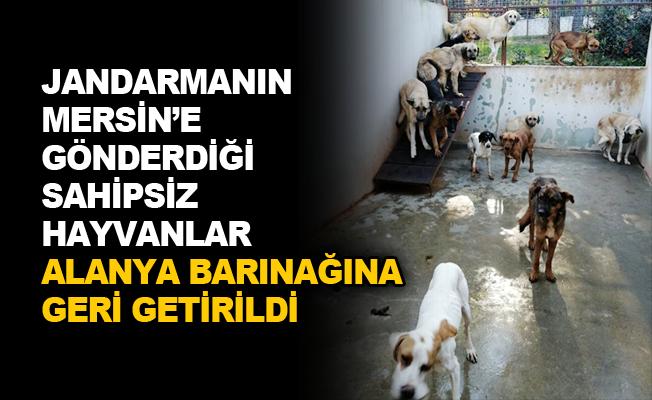 Jandarmanın Mersin'e gönderdiği sahipsiz hayvanlar Alanya barınağına geri getirildi