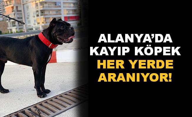 Alanya'da kayıp köpek her yerde aranıyor