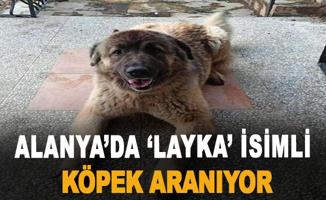 Alanya'da 'Layka' İsimli Köpek Aranıyor