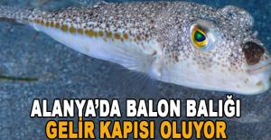 Alanya'da Balon balıkları gelir kapısı oluyor