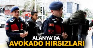 Alanya'da avokado hırsızları Jandarmaya yakalandı