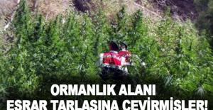 Alanya'da ormanlık alanı esrar tarlasına çevirmişler!