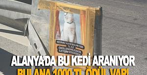 Alanya'da bu kedi aranıyor